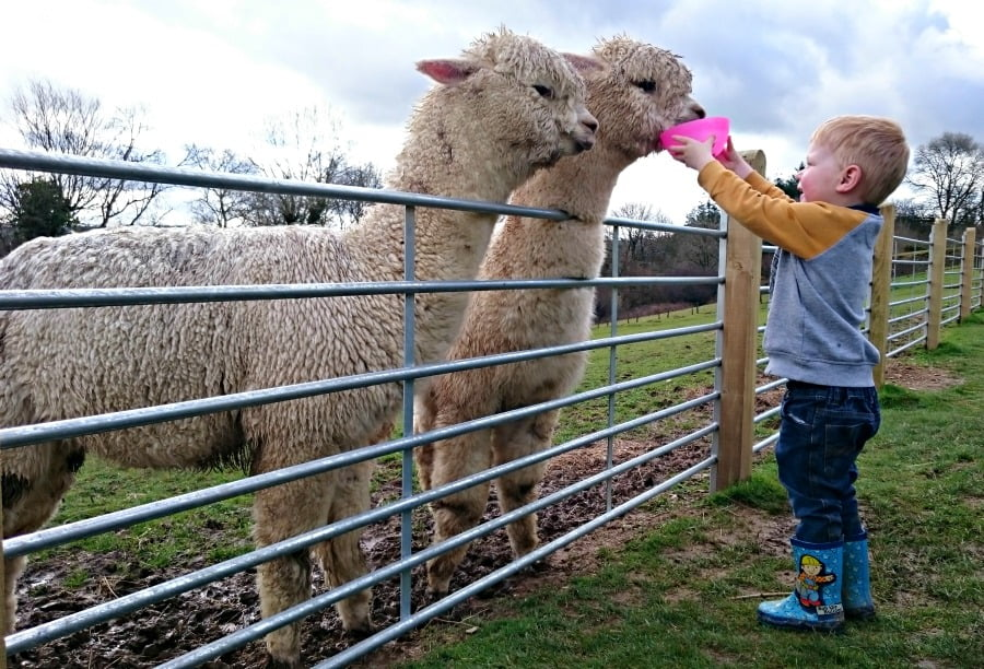 Feeding the alpacas at Clydey Cottages in Pembrokeshire