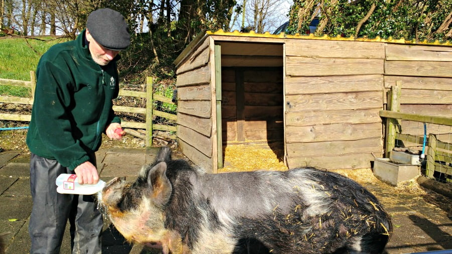 Feeding the pigs at Clydey Cottages in Pembrokeshire
