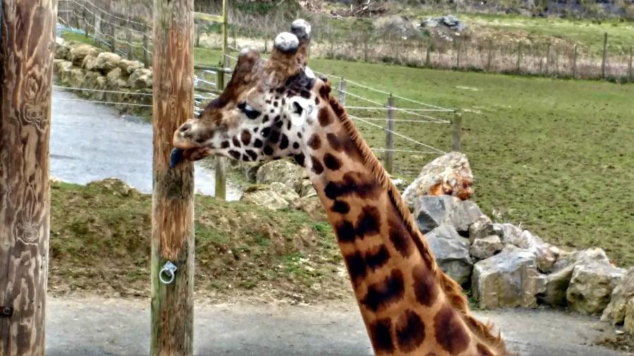 giraffe head 900