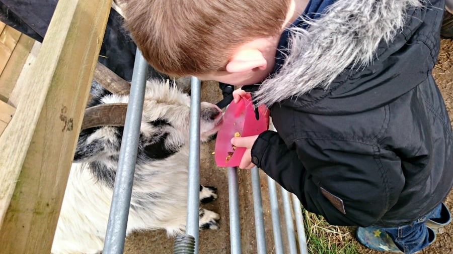 Feeding the goats at Clydey Cottages in Pembrokeshire