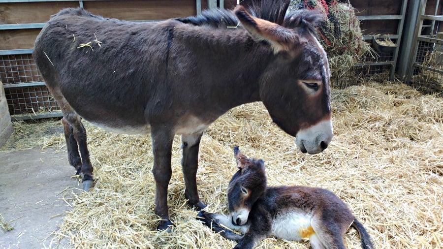 Donkeys at Chatsworth Farmyard