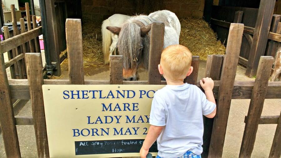 Shetland Ponies at Chatsworth Farmyard