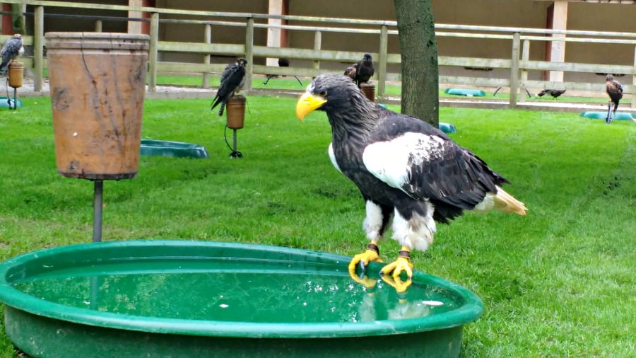 Steller's Sea Eagle at the National Bird of Prey Centre