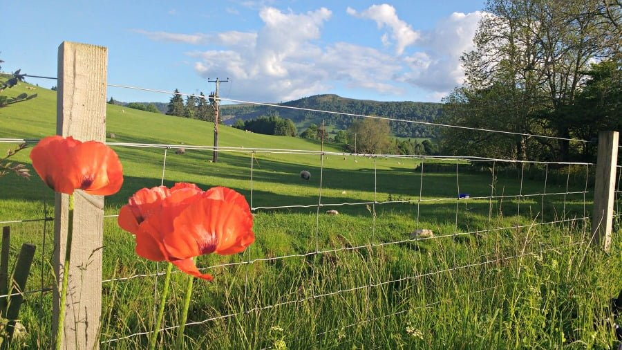 Poppies in Scotland
