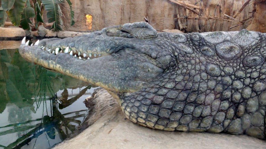 Crocodiles at Rotterdam Zoo
