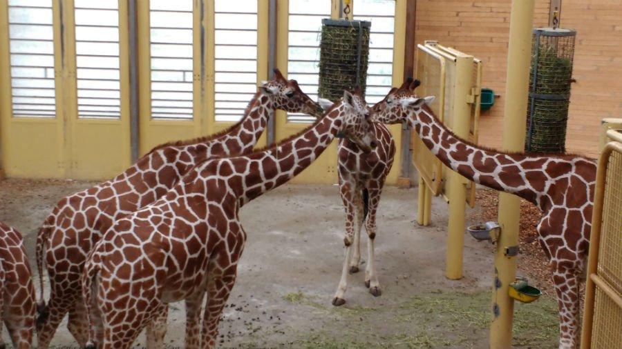 Giraffes at Rotterdam Zoo