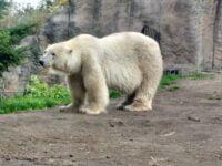 Polar Bears At Rotterdam Zoo