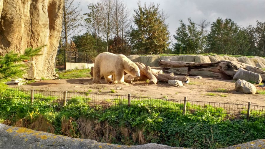 Polar Bears at Rotterdam Zoo