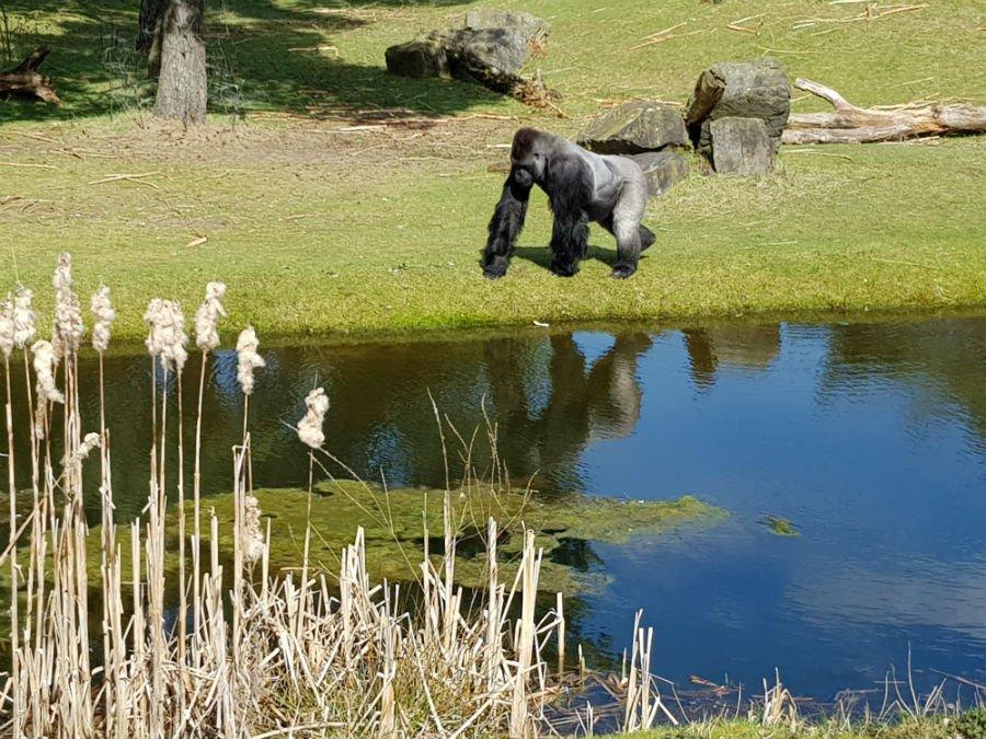 Gorillas at Beekse Bergen Safari Park